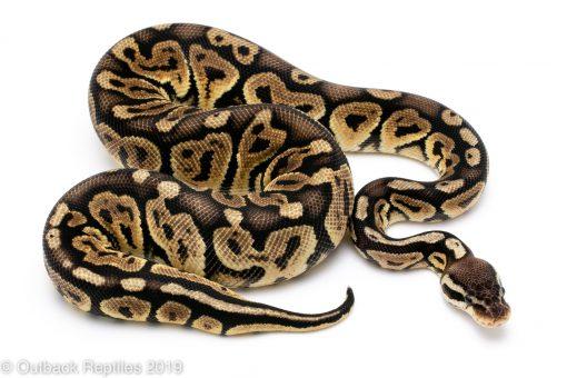 Pastel Huffman ball python
