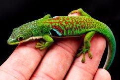 Peacock Day Gecko