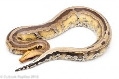 Super Stripe Borneo SHort Tail Python