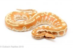 T positive Albino Blood Python