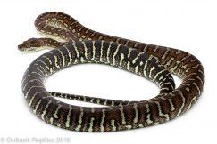 Bredli centralian carpet python
