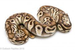 Pastave Ball Python