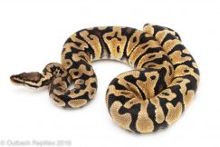 Pastel het Clown ball python