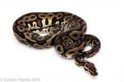 Pastel leopard het pied ball python