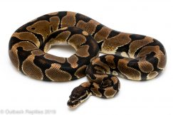 Scaleless Head Ball Python