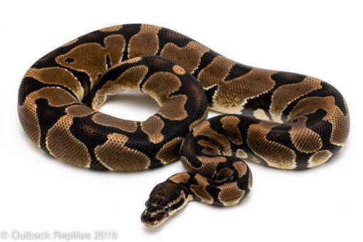 Scaleless Head Ball Python