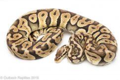 Super Pastel ball python