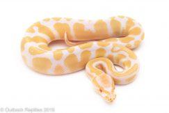 high contrast albino ball python for sale