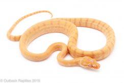 Albino Carpet Python
