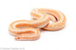 Albino Rosy Boa