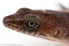 Eugongylus albofasciatus