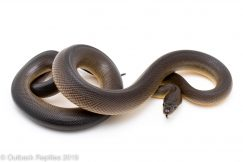 Brown Water Python