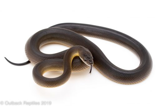Brown Water Python
