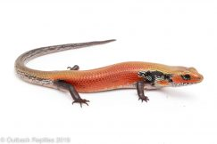 Four Alarm Fire Skink