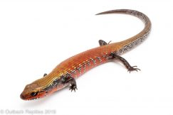 High red Fire Skink