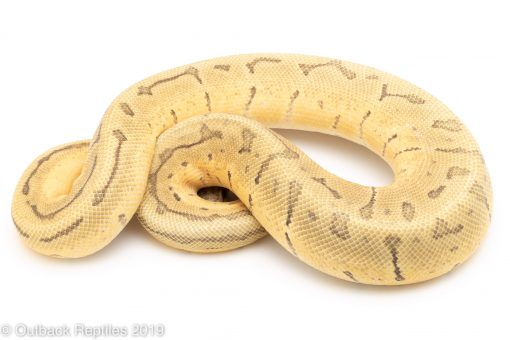 Lemon Blast Enchi Ghost