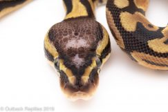 Pastel Scaleless head