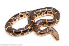 Saharan Egg Laying Sand Boa for sale