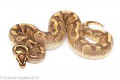 Super Enchi Yellowbelly