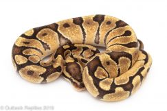 Ball Pythons for Sale | Outback Reptiles