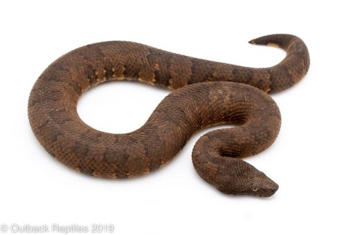 Viper Boa female