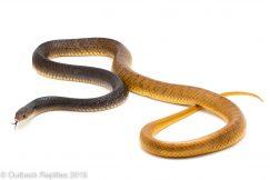 Yellow Tail Cribo