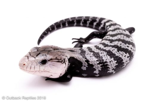 axanthic blue tongue skink