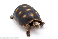 Redfoot tortoise