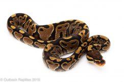 Yellowbelly ball python