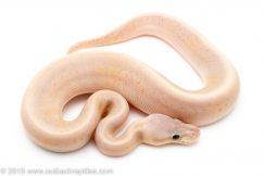 Banana Pewter Pinstripe ball python for sale