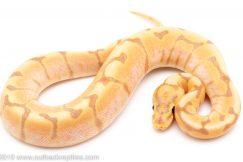 Banana SPider Yellowbelly ball python for sale