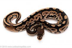 Cinnamon het pied ball python for sale