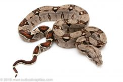 Colombian Redtail Boa constrictor