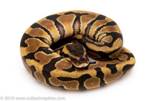 Enchi het Desert Ghost ball python for sale