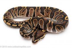 GHI Mahogany ball python for sale