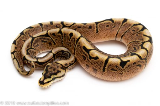 GHI SPider ball python for sale