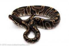 GHI ball python for sale