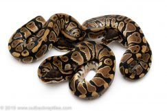 Het Desert Ghost ball python for sale
