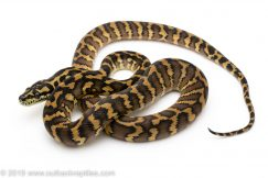 Irian Jaya Carpet Python