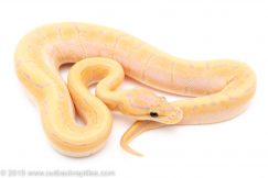 Banana orange Dream Pinstripe ball python for sale