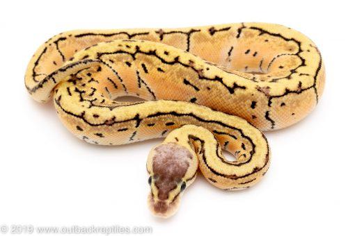 Orange Dream Lemon blast ball python for sale