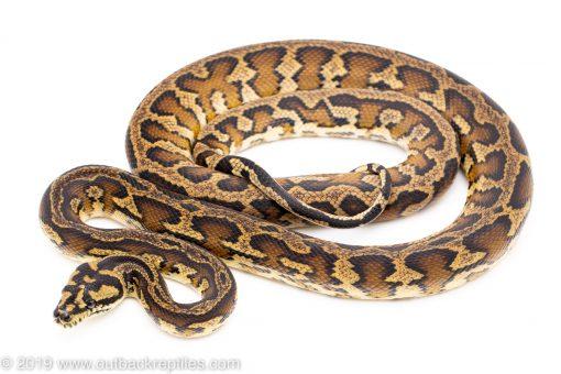 Striped Irian Jaya Carpet Python