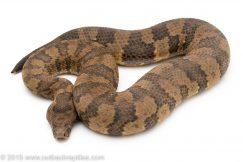 Viper boa for sale