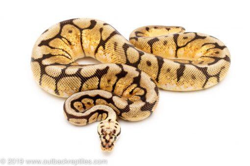 bumblebee ball python for sale