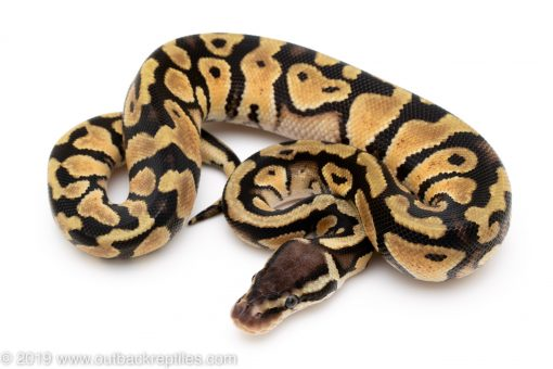 Pastel het Desert Ghost ball python for sale
