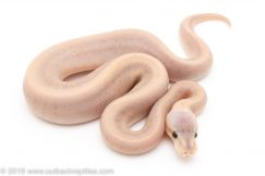 Banana Silver Streak pinstripe yellowbelly ball python for sale