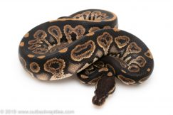 Black Pastel het Pied panda project ball python for sale