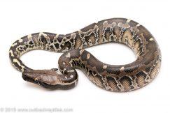 Sumatran Black Blood Python