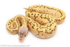 Dragonfly ball python for sale