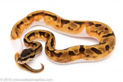 Enchi Pied ball python for sale